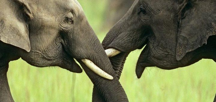 Artık Filler Dişsiz Doğuyor